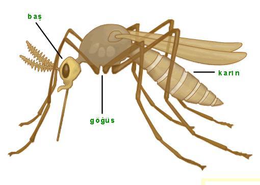 Sivrisineklerin Sağlık Açısından Önemi