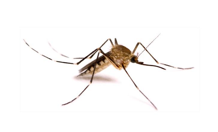 Sivrisinek kanat hızı hakkında bilgin varmı?