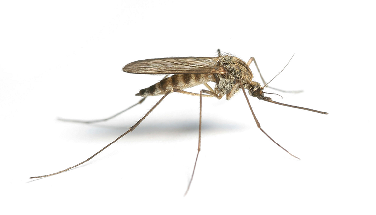 Sivrisineklerin Coğrafi Yayılışı