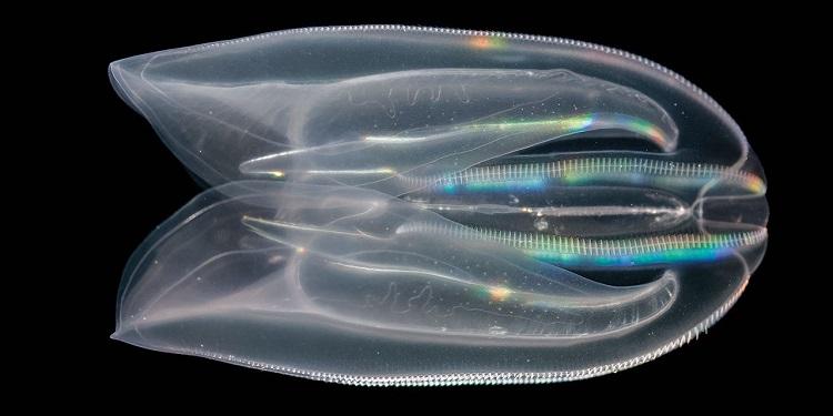 Taraklı Denizanasının Anüsü Nasıl Belirdi?