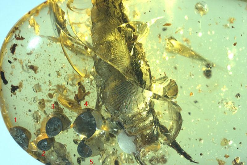 Kehribar içinde 99 milyon yıllık canlı doğum. Dişi salyangoz ve beş yavrusu. C: Tinging Yu