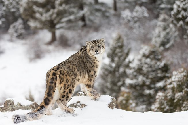 Kar leoparı - Kar parsı - Panthera uncia hakında bilgi