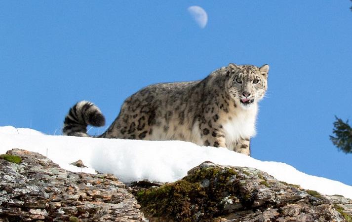 Doğu Tibet'te ilk kez kar leoparları görüldü.