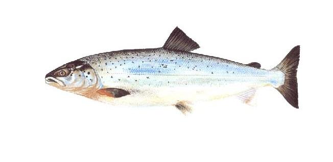 Somon Balığı Nedir? Yaşam Tarzı Nasıldır?