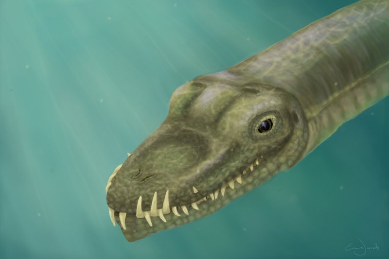 Burun delikleri ve kıvrımlı dişler, kaygan avı yakalamak için mükemmel bir şekilde adapte olmuştur: Tanystropheus'un kafatasının sudaki yaşam için birkaç açık adaptasyonu vardır. C: Emma Finley-Jacob