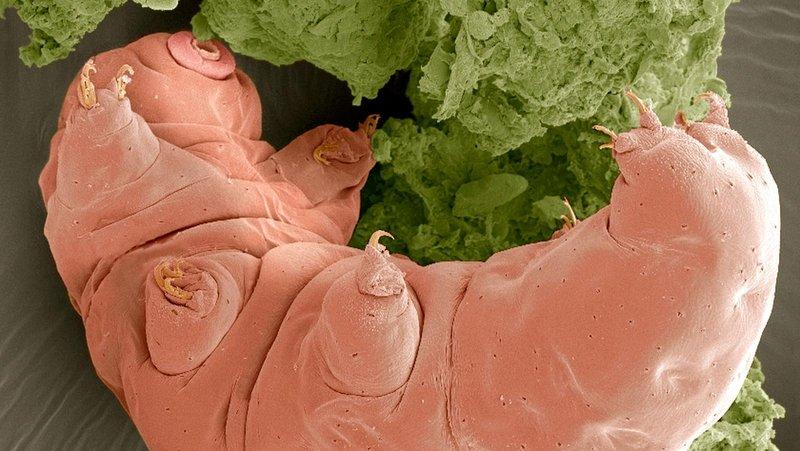 Tardigradların tüm hayvanlara en yabancı DNA'ya sahip oldukları anlaşıldı