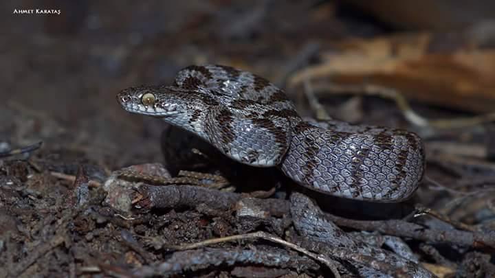 Kedigözlü yılan - Telescopus fallax