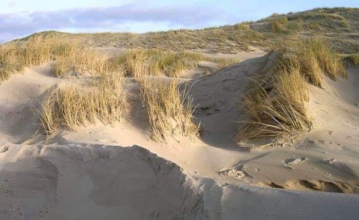 Deniz kumulları ağaçlandırılmalı mı?