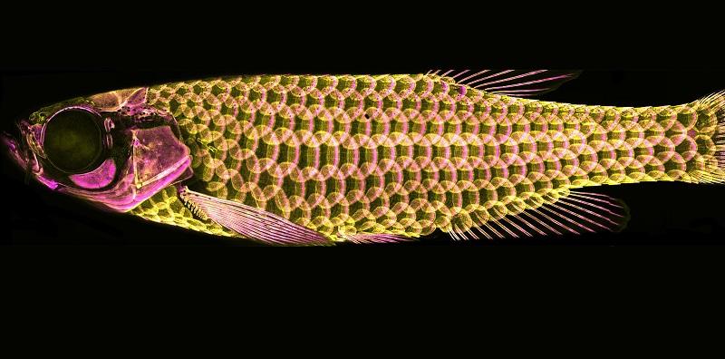 Balık Pulu ile Hayvan Kılının Kökeninin Ortak Olduğu Doğrulandı