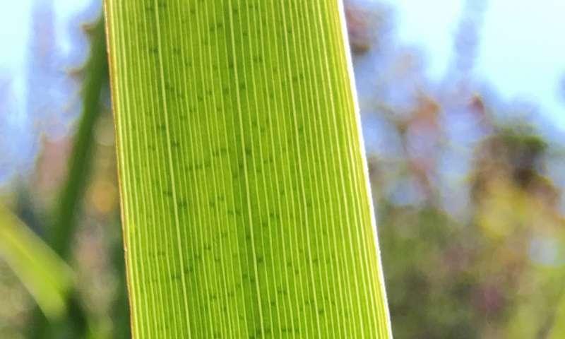 Kloroplast'ın Kökeni