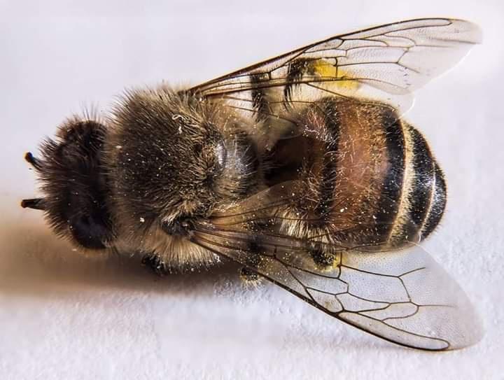 Fransa, Arı Ölümleriyle Bağlantılı Bütün Pestisitleri Yasaklayan İlk Avrupa Ülkesi Oldu