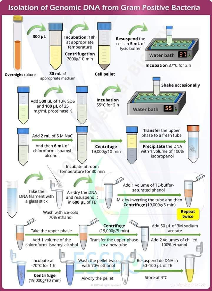 Gram pozitif bakterilerden genomik DNA izolasyon protokolü