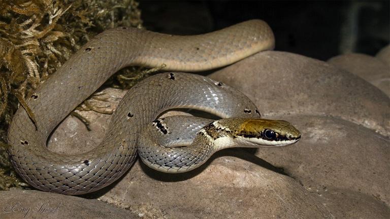 Platyceps collaris - Toros yılanı