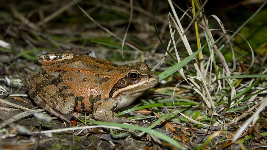 Rana macrocnemis - Uludağ kurbağası