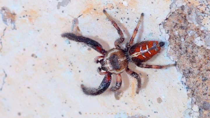 Renkli Sıçrar Örümcek - Thyene imperialis