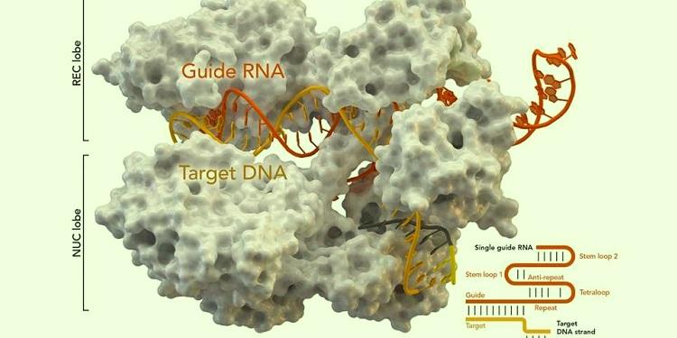 Toprakta ve Sindirim Sisteminde Yeni Anti-CRISPR Proteinleri Keşfedildi