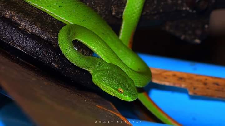 Beyazdudaklı Yeşil Engerek - Trimeresurus albolabris