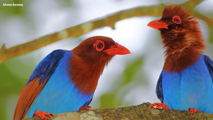 Sri Lanka Mavi Saksağanı - Urocissa ornata