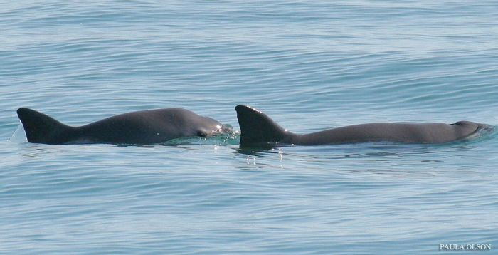 Bir çift vaquita Resim: NOAA Fisheries West Coast / CCsearch, CC BY-NC-ND 2.0