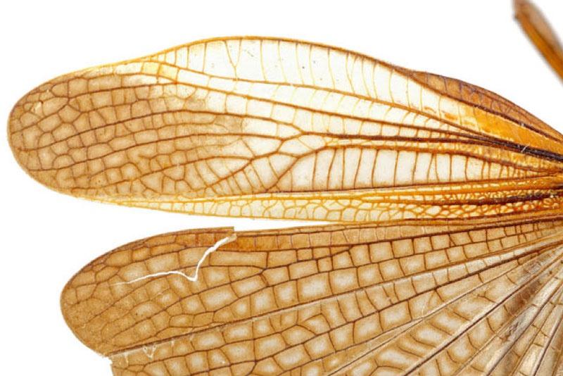 Günümüzdeki büyük bantlı çekirge (Arcyptera fusca) kanatlarıyla çatırtı sesleri çıkarıyor. C: T. Schubnel et Al/Communications Biology 2021.