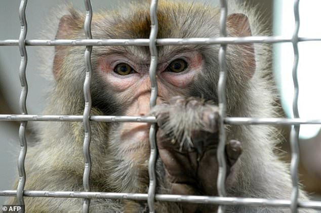 Maymunlara insan beyninden gen aktarıldı, zeka ve hafıza arttı!