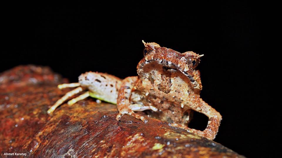 "Boynuzlu Kurbağa ""Xenophrys longipes"""