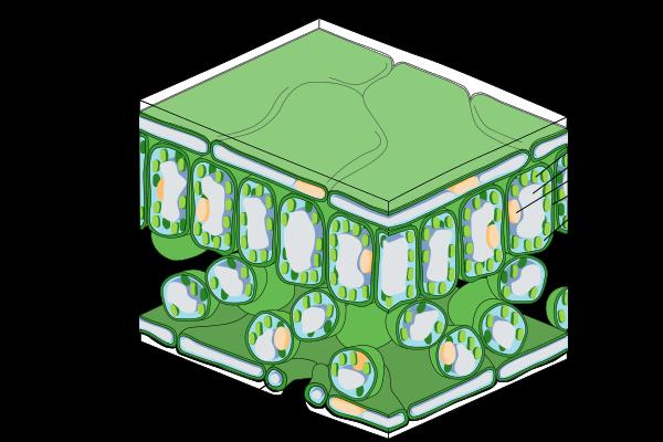 Yaprağın anatomik yapısı