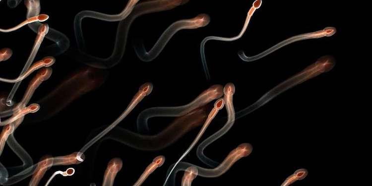 Uzun Ömürlü Sperm, Daha Fit ve Yavaş Yaşlanan Yavrular Meydana Getiriyor