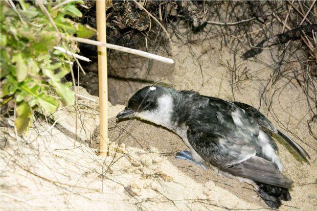 Yeni Zelanda'da yeni bir kuş türü bulundu: Whenua Hou Dalıcı Fırtınakuşu