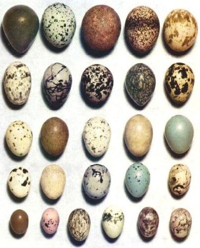 Kanatlı Yumurtaları ve Muhteşem Özellikleri