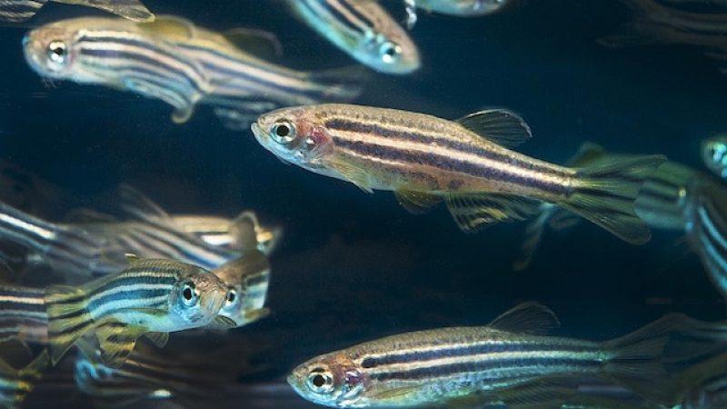 Zebra balıkları ile yapılan çalışmaya göre, beyindeki değişimler kişilik özelliklerine etki ediyor