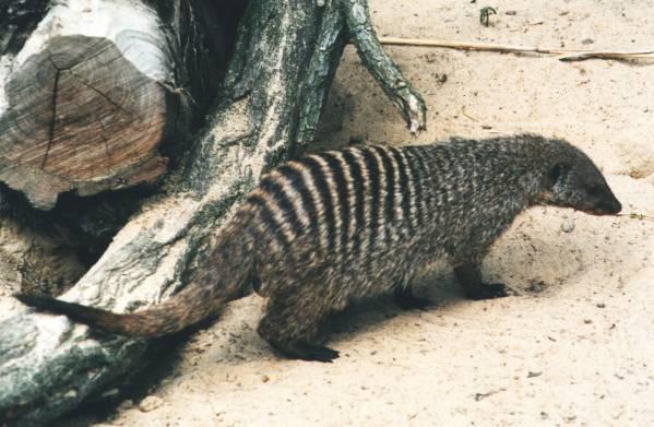 Kuyruksürengiller - Herpestidae