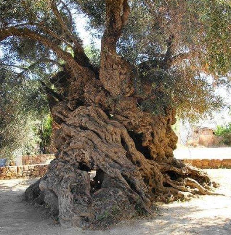 3000 Yıllık Zeyrin Ağacı