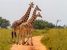 7 Milyon Yıllık Fosiller Zürafaların Uzun Boynunun Evrimini Gösteriyor