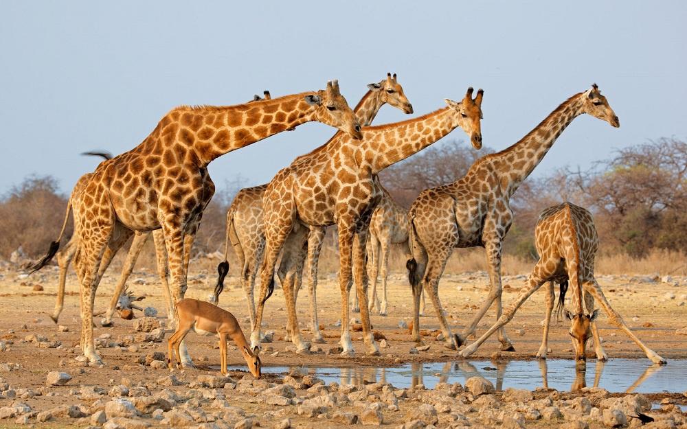 Dişi bireyler arasındaki sosyal yaşam zürafalarda ömür uzunluğunu artırıyor