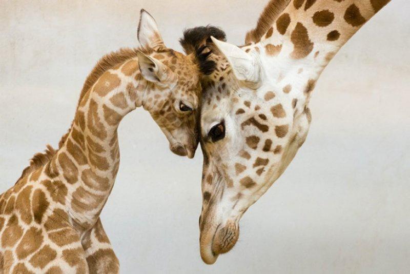 Zürafalar nesli tükenme tehlikesiyle karşı karşıya olan canlılar arasında